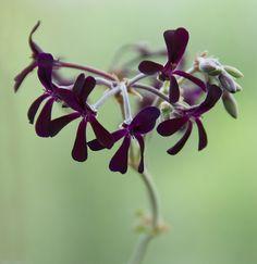 Pelargonium sidoides outdoors garden flowers