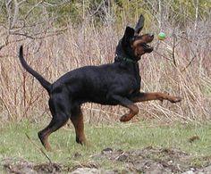 black and tan coonhound photo | Briarhunt Kennels' Black and Tan Coonhounds