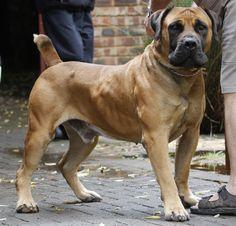 South African Boerboel Mastiff Puppy Dogs