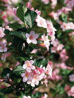 Must-have shrub for your garden: Wine & Roses Weigela- 'Wine & Roses' is a medium-size shrub with big impact. The dark purple foliage looks great from spring to fall and is decorated by pink flowers in spring and summer. Size: To 5 feet tall, 6 feet Landscaping Shrubs, Country Landscaping, Garden Shrubs, Landscaping Ideas, Flowering Bushes, Trees And Shrubs, Beautiful Gardens, Beautiful Flowers, Gardens