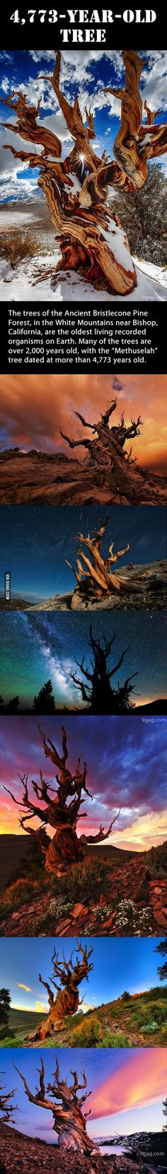 The Oldest Living Organism on Earth – Ancient Bristlecone Pine Forest, White Mountains, California