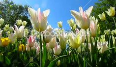 Tulips flowers. Beautiful spring flowering and nature landscape #footage #tulips #spring #flowers