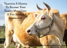 The Homestead Survival   How to Train a Heifer to Become a Family Milk Cow   http://thehomesteadsurvival.com
