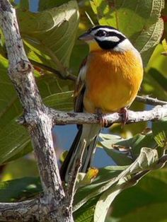 Golden-breasted Bunting, Kenya | (c) Nik Borrow