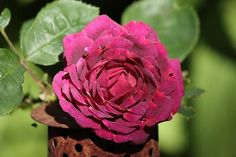 Historische Rosen 2010 - Seite 116 - Rund um die Rose - Mein schöner Garten online