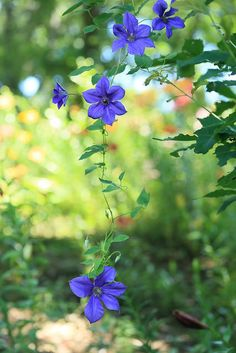 ~~Clematis by cate♪~~