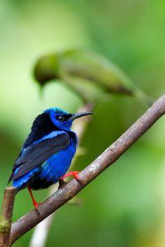 Lyn Hammond Artist loves this little #Blue Bird, Costa Rica