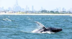 The Great New York Whale Census - NYTimes.com