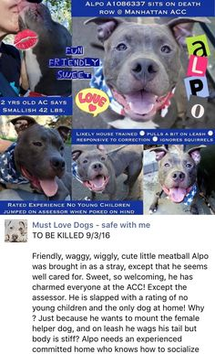 SAFE❤️❤️ 9/3/16 BY POUND HOUNDS RES-Q❤️ THANK YOU❤️ Manhattan Center ALPO – A1086337 **SAFER: EXPERIENCED/NO YOUNG CHILDREN** MALE, BLUE / WHITE, AM PIT BULL TER MIX, 2 yrs STRAY – STRAY WAIT, NO HOLD Reason STRAY Intake condition UNSPECIFIE Intake Date 08/20/2016, From NY 10456, DueOut Date 08/23/2016, http://nycdogs.urgentpodr.org/alpo-a1086337/