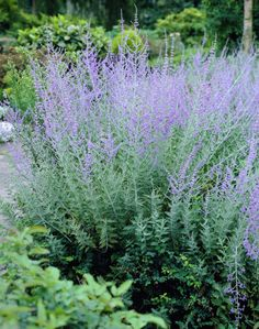 Russian Sage is lovely in the late summer border.  It blends well with grasses, black-eyed Susan, Echinacea and other late perennials.