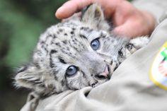 snow leopard - Buscar con Google