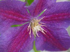 Clematis 'Ashva', Bosrank of bosdruif.  Clematis 'Ashva bloeit met violet kleurige bloemen met paarse strepen. Clematis Ashva bloeit vanaf juni tot in september.