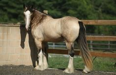 A highly unusual buckskin Shire!Our Mares: Tintagel Andalusian Horses: Breeding, Performance Training, Holistic Treatment