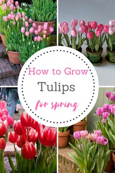 How To Grow Tulips, Tulips, I so love tulips, but have never tried to grow them....I think I might give it a shot this Spring!!