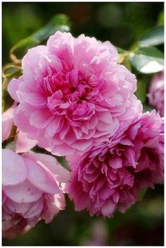 English Shrub Rose: Rosa 'Sister Elizabeth' (U.K., before 2006)