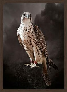 Saker Hunting Falcon I, picture from the series Falcons by Tariq Dajani, artist of category FINE WORKS at photo art editions LUMAS All Birds, Birds Of Prey, Beautiful Birds, Animals Beautiful, Rapace Diurne, Photo D Art, Art En Ligne, Tier Fotos, Mountain Dogs