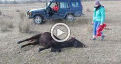 Este caballo salvaje fue encadenado durante meses. Ahora observa la reacción con su salvador