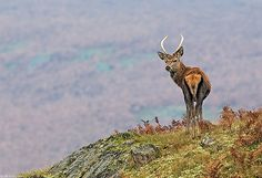 Red Deer Buck