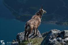 Chamois in the Tatra Mountains, Poland.  #wildlifephotography