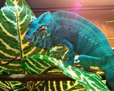 Muffins basking. Nosy Be Panther Chameleon