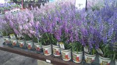 """Working at Lowe's in the Garden Department I could not help but notice the Angelonia . I get asked many times in a day"""" what flowers can take the heat and humidity during our hot su…"""