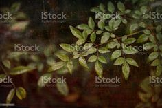 Bamboo Leaves with Aged Grunge Effect Close-Up of Bamboo Leaves with Aged Grunge Effect. Abstract Stock Photo Abstract Images, Abstract Backgrounds, Bamboo Leaves, Photo Composition, Video Image, Feature Film, Photo Illustration, Image Now, Royalty Free Images