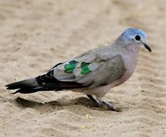 Emerald-spotted Wood-dove. Interesting, my name means dove, and my birth stone is emerald :)