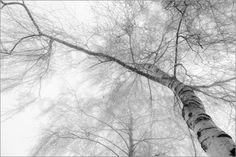 Hannes Cmarits - Birke im Nebel - schwarz-weiß