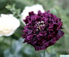 pionvallmo Black Flowers, Cut Flowers, Garden Angels, Black Garden, My Secret Garden, Flower Pictures, Dream Garden, Amazing Gardens, Garden Inspiration