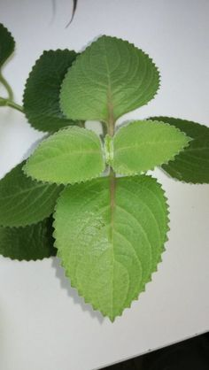 Mojito, Herbalism, Plant Leaves, Food And Drink, Herbs, Plants, Gardening, Fitness, Diet