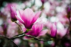 Tulip Tree - stock photo