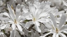 A star magnolia (Magnolia stellata). Selective focus on the two left flowers.