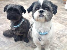 . Shih Tzu Mix, Shih Tzus, Lhasa, I Love Dogs, Puppy Love, Grooming Shop, Short Hair Cuts For Women, Animal House, Livingston