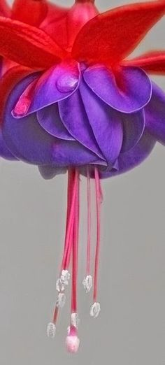 On Tiptoe ~ Fuchsia The Beauty