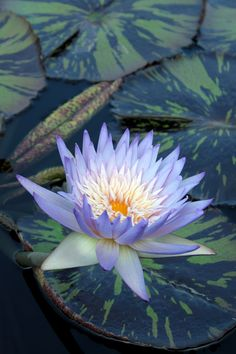 Beautiful light Blue water lily