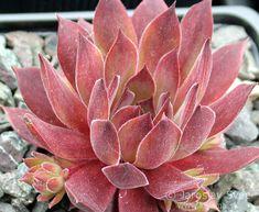 Sempervivum 'Pacific Evening Star'