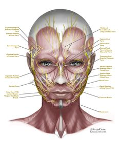 face anatomy - Google Search