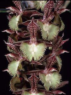 Catasetum Frilly Doris orchid.