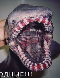 Check out some of the bizarre sea monsters a Russian fisherman happened to catch during his deep sea fishing trip. Some of them look like they belong in a horror movie. Roman Fedorstov regularly goes deep-sea Scary Sea Creatures, Deep Sea Creatures, Strange Creatures, Scary Ocean, Frilled Shark, Creepy Animals, Fishing Photography, Deep Sea Fishing, Sea Monsters