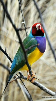 Colorful birds - Lady Gouldian Finchs are from Australia.