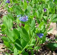 Virginia Bluebells can be found at both Indian Point Park and Hogback Ridge Park now through April 15. http://www.lakemetroparks.com/select-park/wildflowersinbloom.shtml#home