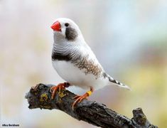 The zebra finch is the most common estrildid finch of central Australia ~ but not of this colour.  Grey is the original colouring ~ this bird is a hybrid.