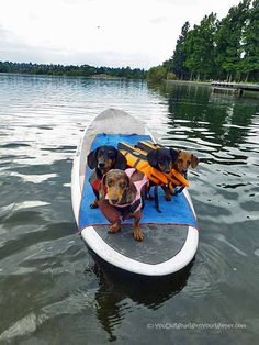 Four weenies on a stick #Dachshund #Paddleboarding