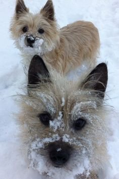 Col. Potter Cairn Rescue:  Kayla and Sadie. This reminds me of Buddy who loved to dive face first into the snow and run like a little fuzzy snow plow.