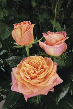 Rose 'wlidspirit'   http://www.rosen-tantau.com/cms/index.php?article_id=544