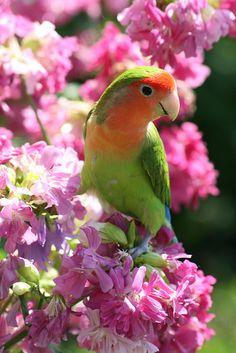 Pretty little green and orange parakeet in a tree with pink flowers. Cute Birds, Pretty Birds, Beautiful Birds, Animals Beautiful, Cute Animals, Exotic Birds, Colorful Birds, Tropical Birds, Small Birds
