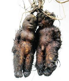 These are the tuber roots of Fleeceflower. And this isn't an anomaly - most of their roots look like this. Look it up. WEIRD!