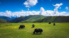 #adventure #bulls #china #discover #drobosummer #explore #fujifilm #highlands #journey #nature #landscape #landscapephotography #photography #photo #travel #travelphotography #summer #urbanexploration #urban #sichuan