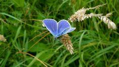 Butterfly, Holland Heemskerk 2016