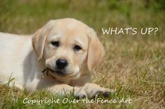 Dog Photograph Dog Card Yellow Labrador by overthefenceart on Etsy
